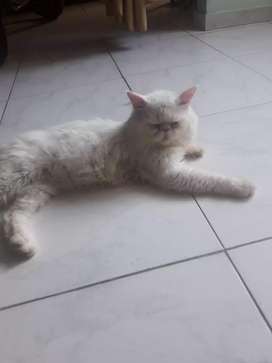 ofresco.gato.perza.para.monta.blanco.ojos.asules