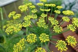 semillas de anethum planta