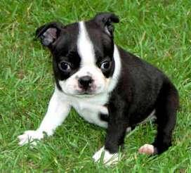 niña boston terrier