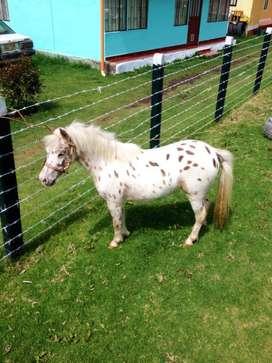 Vendo hermosa pony mini horse appaloosa
