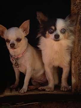 Pareja Chihuahua Merle Tricolor