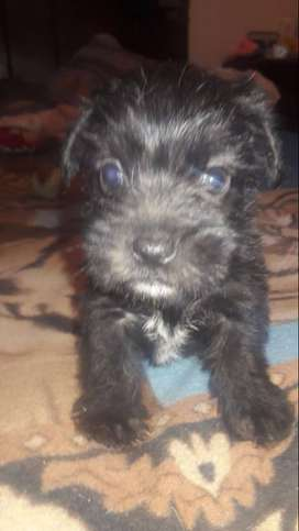 Hermosos French Poodle
