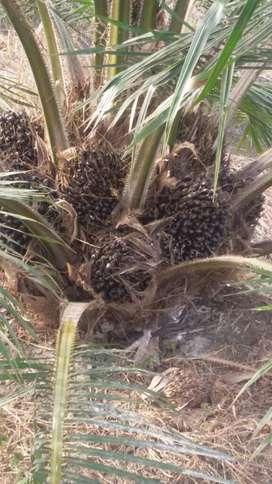 Vendo Finca de Palma Africana Tenera