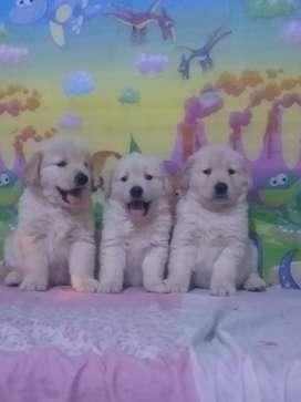 Golden retriver cachorros machos