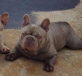 Bulldog Frances Lilac Solido Servicio