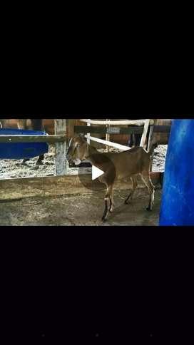 Cabras nubianas