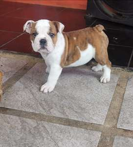 Bulldog Ingles cachorra