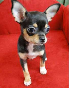 chihuahua hermosos perritos oscuros de orejas ya levantadas