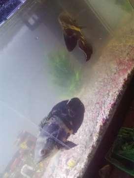 Vendo 2 pescados oscar grandes de 25 centímetros más o menos los dos por ,80 mil