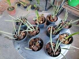 Orquídeas Brassavola nodosa