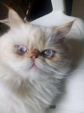 Gato persa imalallo para monta