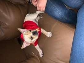 Se vende hermoso cachorro bulldog francs color crema