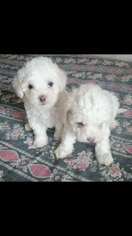 Hermosos cachorros frens poodle Minitoy, 50 días, vacunados y desparacitados, salud y pureza garantizada,