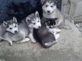 LOBOS KUSKYS SIBERIAN LINEA AMERICANA MUY PELUDOS Tenemos los mas bello cachorro con garantia de pureza 100%, niñas y ni