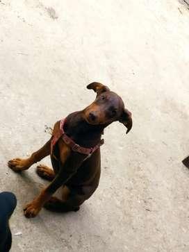Hermosa cachorrita doberman