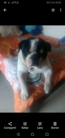 Vendo bulldog tricolor 2 años