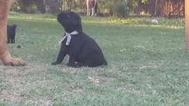 Cachorros Schnauzer gigante con papeles