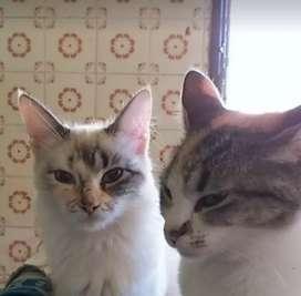 En adopción gatitas de un año