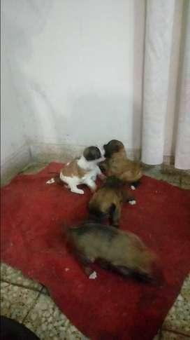 Perritos de un mes de edad