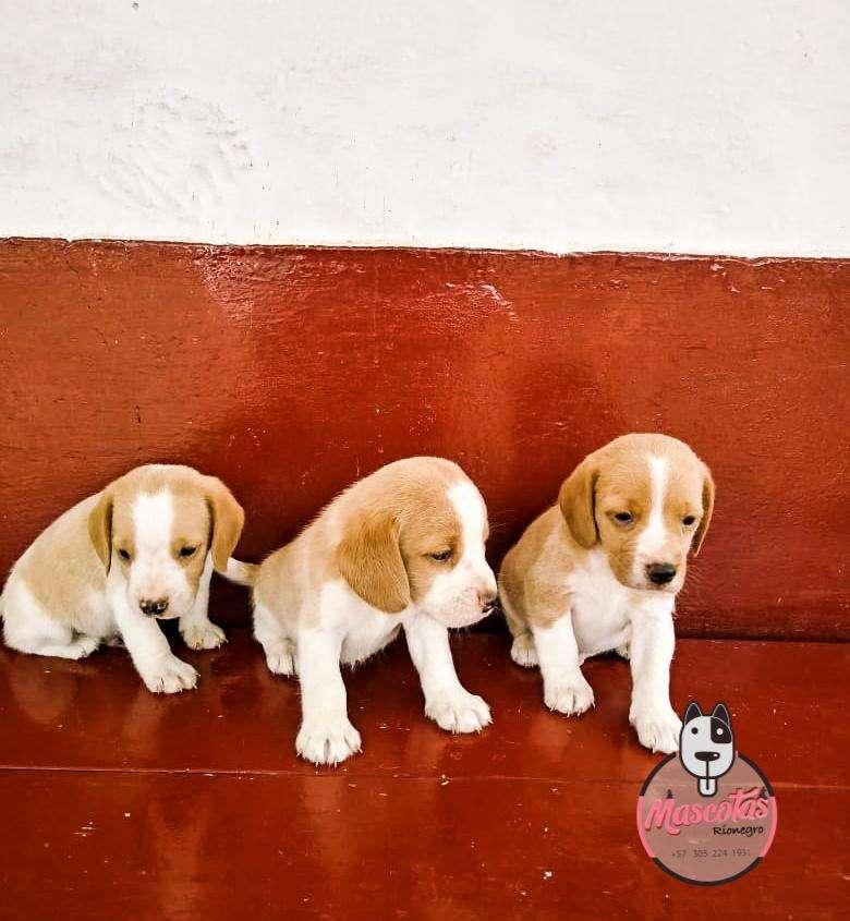 Espectaculares Beagle Limon Disponibles 0