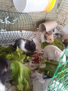 Venta de hamsters
