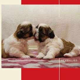 Shitzu cachorros Rexbullies