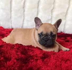 Hermosos perritos raza bulldog  francés  disponibles