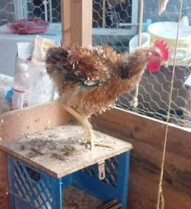 Se vende gallo grifo