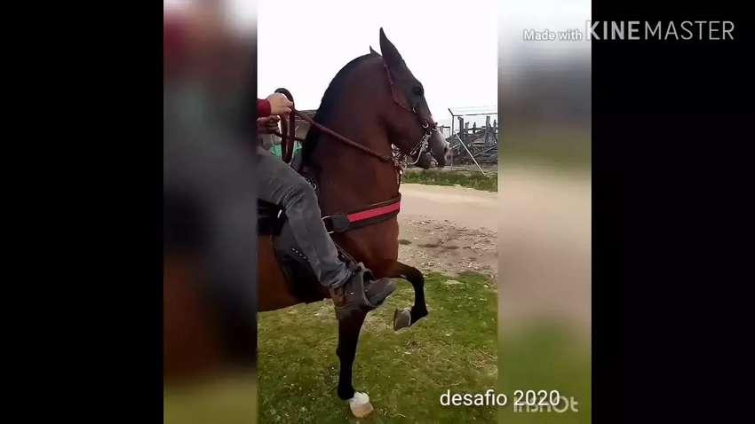 Vendo excelente caballo troton 0