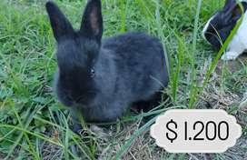Conejo, ideales para mascota!