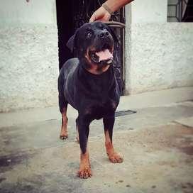 Busco novia - Rottweiler (Stud service)