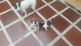 JACK RUSSELL PATAS CORTA CARITA DE MASCARA Contamos con los cachorros con la mejor característica para entrega machos y