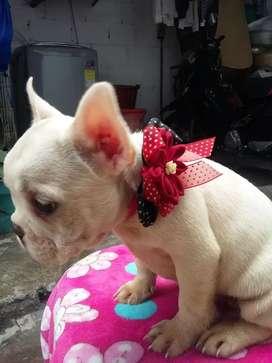 Hermosas bulldog ala venta   de  tees meses con vacunas al dia