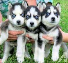 husky lobos ojos azules saludables respaldado con documentos medicos profesionales