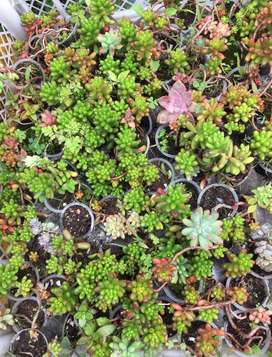 Vendo hermosas plantas suculentas
