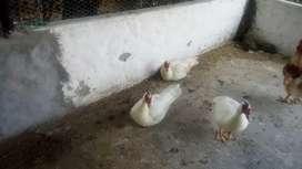 Hermosos patos machos
