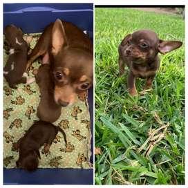Chihuahua macho en venta
