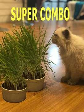 Planta de Pasto Para Gato O Hierba Gatera O Cat Grass