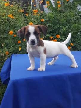 Extraordinarios Jack Russell Terrier