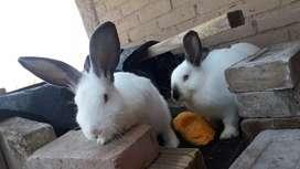 Conejos hermosos