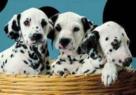 dalmata perritos divinos de bellas pecas