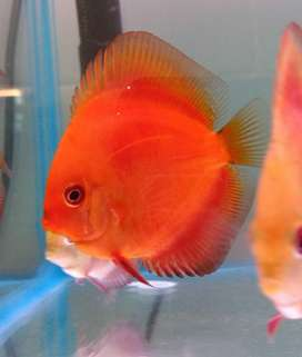 PAGAS CONTRAENTREGA // HERMOSOS PECES DISCO DISPONIBLES