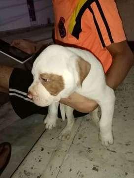 Vendo mi hermoso pitbull BULLY