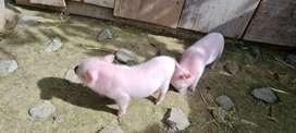 Hermosos Mini Pig