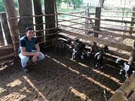 Venta de cabros y carneros