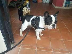 Bulldog frances con fca para servicio de monta