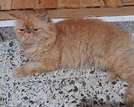 Busco novia para gato persa extremo