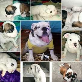 Bulldog ingles Disponible para monta
