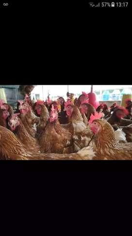 Vendo gallinas ponedoras pico mocho  tengo 7 gallinas ponedoras