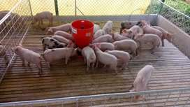 Cerdos Levante